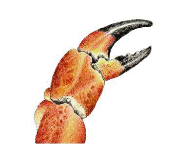 Οpen a crab/lobster claw